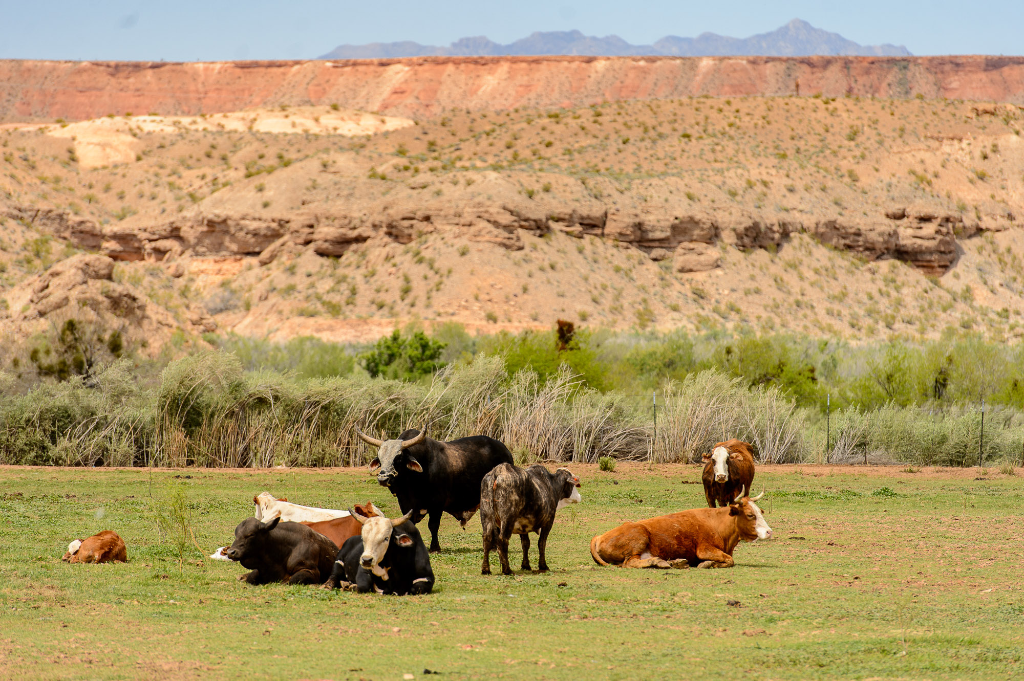 Cattle at the Bundy Ranch